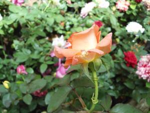 Indi Rose Garden, Resort  Habarana - big - 12