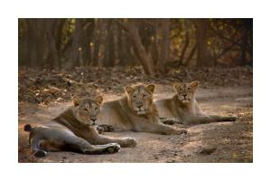 Asiatic Lion Lodge, Лоджи  Sasan Gir - big - 7