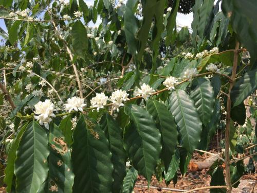Hawaii Belt Coffee Garden