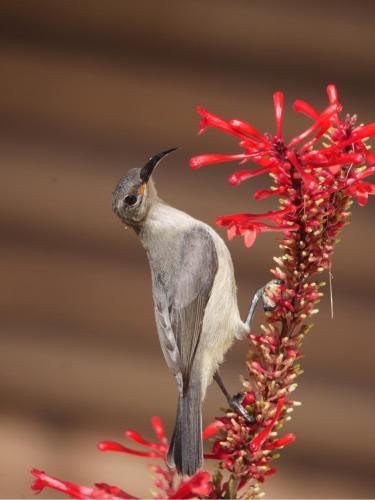 hummingbird på dansk