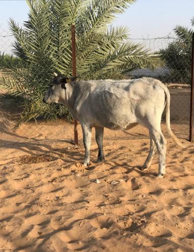 Ariaf Elmadina Farm