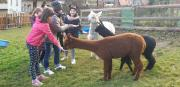 Relax with Alpacas
