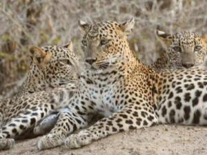 Leopard Spotting Camp - Yala