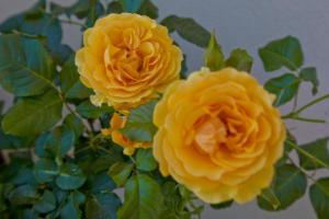 Willa Złota Róża