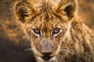 Honeyguide Tented Safari Camps, Luxusní stany  Rezervace Manyeleti - big - 11