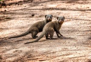 Honeyguide Tented Safari Camps, Luxusní stany  Rezervace Manyeleti - big - 8