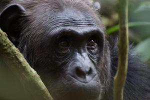 Olifant en Chimpansee - Karbach