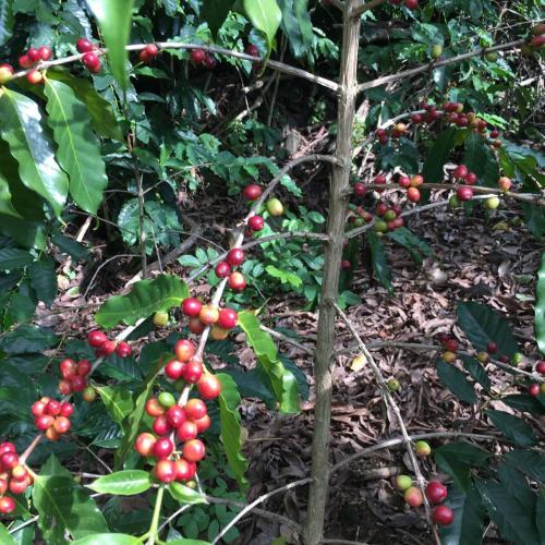 Hawaii Belt Coffee Garden - Captain Cook, HI 96704