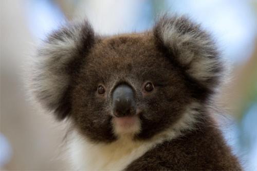 . Bimbi Park - Camping Under Koalas
