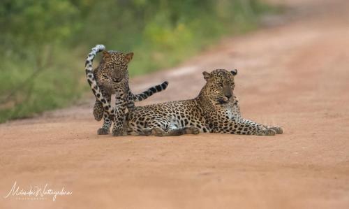 Leopard Corridor Yala
