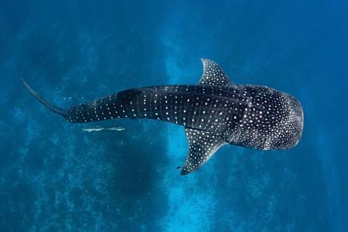 . White Tern Maldives