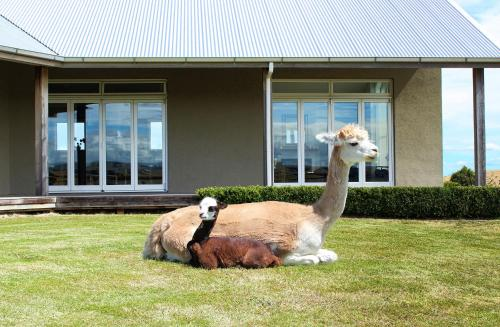 . Gallin Farm Alpacas and Farmstay