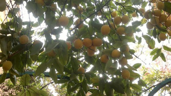 By The Lemon Tree